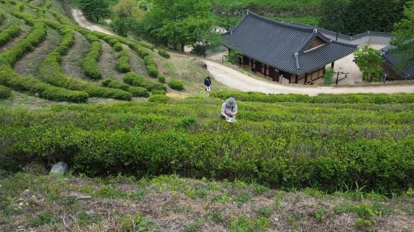 boseong-tea-picking.jpg